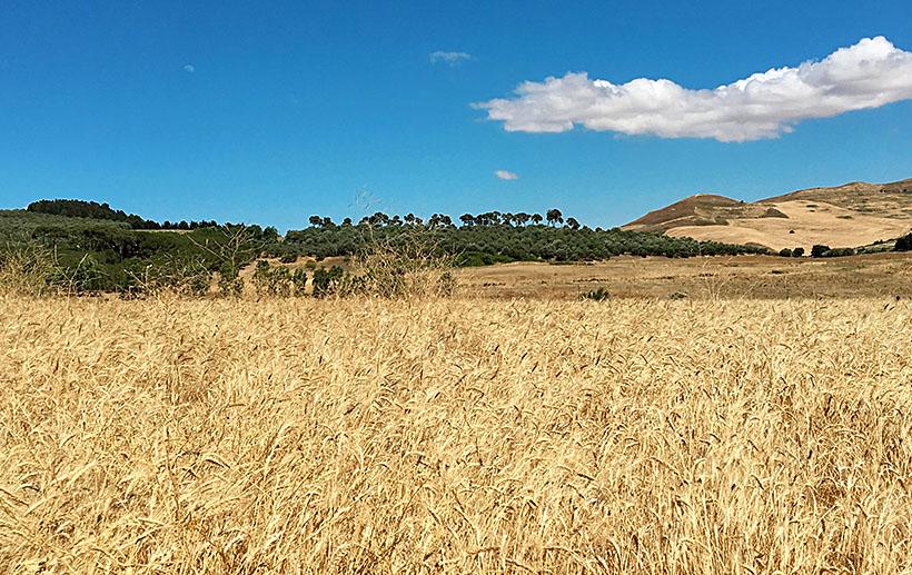 I grani antichi e la biodiversità siciliana